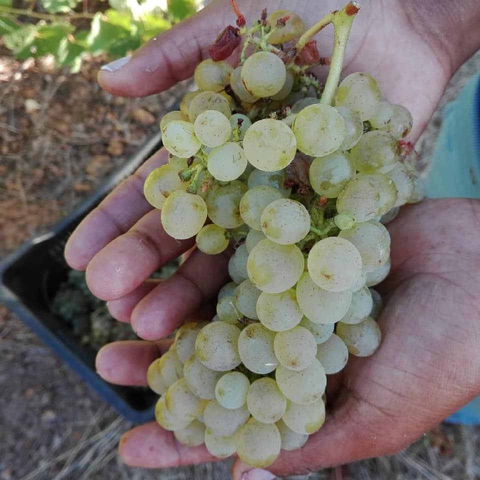 witte druiven voor witte wijn