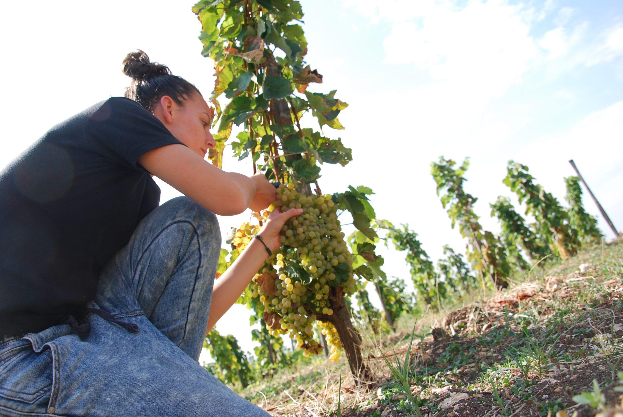 Kata Zsirai in de wijngaard in Tokaj